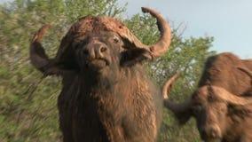 Kap-Büffel geben Warnung stock video footage