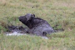 Kap-Büffel, Kenia, Afrika stockbild
