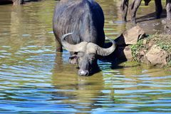 Kap-Büffel Stier Stockfotografie