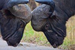 Kap-Büffel-Stiere Stockfoto