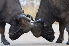 Kap-Büffel-Stiere Lizenzfreie Stockfotografie
