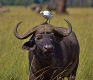 Kap-Büffel und Reiher Stockfoto