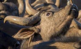 Kap-Büffelkuh, die heraus schaut Stockfotografie
