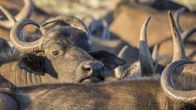Kap-Büffelkuh, die heraus schaut Stockfoto