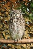 Kap Eagle Owl in Afrika Lizenzfreie Stockbilder