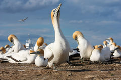 Kap-Entführer-Gannet-Kolonie, Hawkes-Bucht, Neuseeland Lizenzfreies Stockfoto