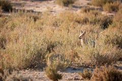 Kap Fox außerhalb der Höhle stockfoto