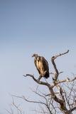 Kap-Geier Gyps die coprotheres, die auf einem toten Baum, Südafrika sitzen Stockfotografie