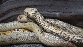 Kap-Kobra Naja nivea sehr gefährliche Schlange stock video