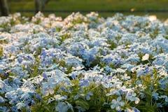 Kap Leadwort, Bleiwurz auriculata im Garten Lizenzfreie Stockbilder