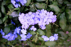 Kap Leadwort-Purpurblumen Stockbilder