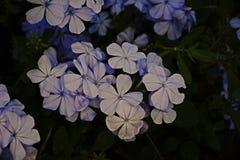 Kap Leadwort, weiße Bleiwurz; blühende Pflanze Lizenzfreies Stockfoto