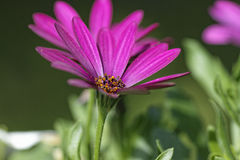 Kap-Margerite. Osteospermum - Daisy - a small pink flower Royalty Free Stock Images