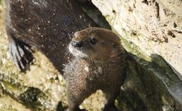 Kap-Otter Stockbild