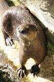 Kap-Otter Lizenzfreie Stockbilder