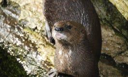 Kap-Otter Stockfoto
