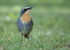 Kap Robin auf grünem Gras Stockbild