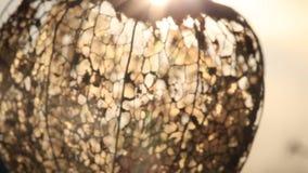 Kap-Stachelbeere dekorativ Japanische Laterne Hozuki stock video