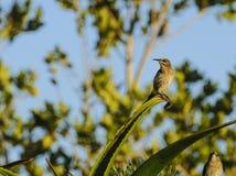 Kap Sugar Bird, der nach links schaut Lizenzfreies Stockfoto