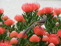 Kap Sugarbird - wild lebende Tiere Stockbilder