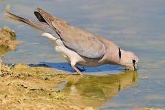 Kap-Turteltaube - afrikanischer wilder Vogel-Hintergrund - trinkende Reflexion Stockfotos