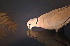 Kap-Turteltaube - afrikanischer wilder Vogel-Hintergrund - trinkendes Gold Stockfoto