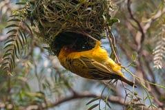 Kap-Weber, der ein Nest errichtet Stockfoto
