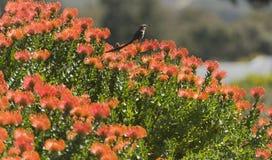Kap-Zuckervogel Lizenzfreie Stockfotografie