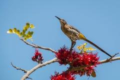 Kap-Zuckervogel gehockt in einem Baum Lizenzfreie Stockfotografie