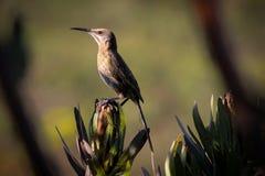 Kap-Zuckervogel hockte auf einer Proteablume Lizenzfreies Stockbild