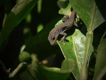 Kap-Zwerg-Gecko in einem Zitronenbaum lizenzfreie stockfotografie