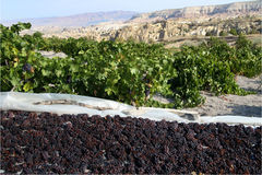kapadokian的葡萄 库存照片