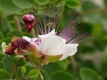 Kapari blomma Arkivfoton