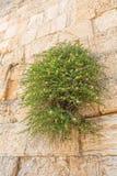 Kaparowa krzaka westernu ściana Jerozolima fotografia stock