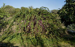 Kaparowa roślina obraz royalty free