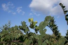 Kaparowa roślina zdjęcie royalty free