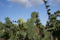 Kaparowa roślina obrazy stock