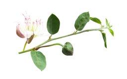 Kaparowa roślina na bielu Capparis spinosa gałąź zdjęcie royalty free