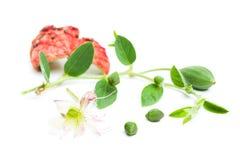 Kaparowa roślina, pączek, zieleń liście i kwiat, obraz royalty free