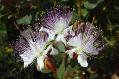 Kaparowy kwiat fotografia stock