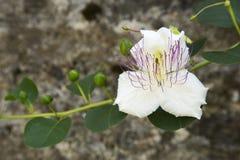 Kaparowy kwiat Obraz Stock