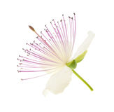 Kaparowy kwiat fotografia royalty free