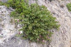 Kaparu krzaka Capparis spinosa dorośnięcie na kamieniach w górach zdjęcie royalty free