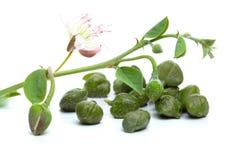 Kapary, biały tło Kaparowa roślina, zieleń liście obraz royalty free