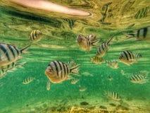 Kapas fiskar royaltyfri bild