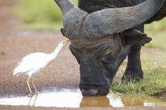 Kapbüffel mit wenigem weißem Reiher, welche nach Insekten sucht Stockfoto