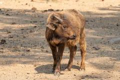Kapbüffelkalb, das zur Seite schaut Lizenzfreie Stockfotos
