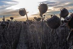 Kapelusze dojrzali słoneczniki w słońcu przy zmierzchem, podczas zbierać zdjęcia stock