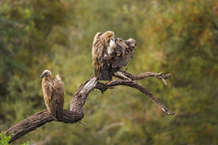 Kapgeier in Nationalpark Kruger, Südafrika stockfotos