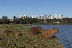 Kapibar odpoczywać Zdjęcia Royalty Free